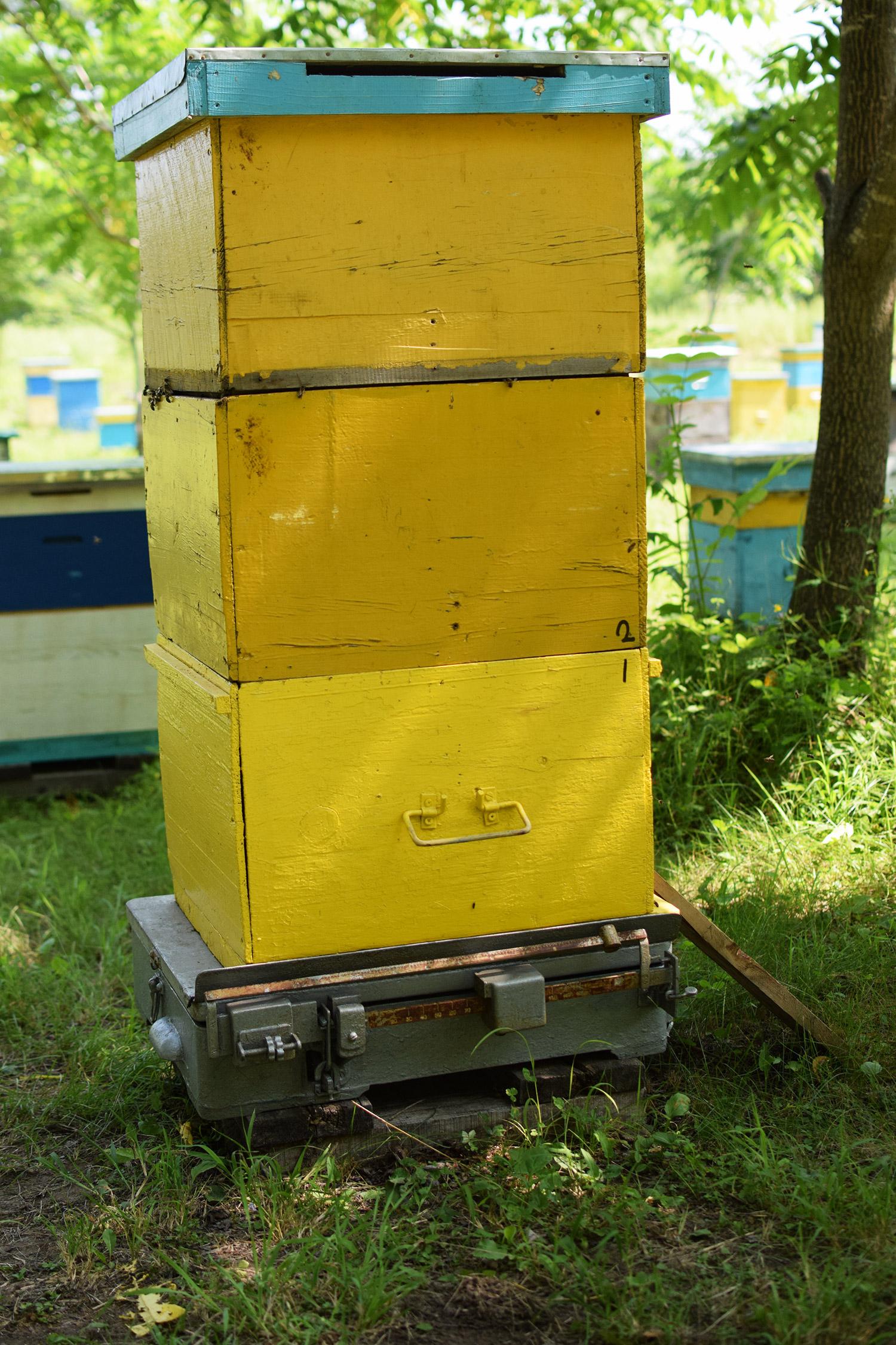 3-х корпусный пчелиный улей в разгар медосбора. Очень сильная семья :)